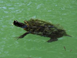 turtle sp | by magnificentfrigatebird