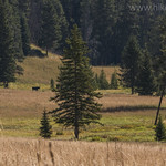 Moose near Dailey Creek