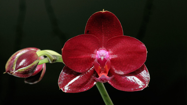 Phal. Mituo King 'Red Pepper'