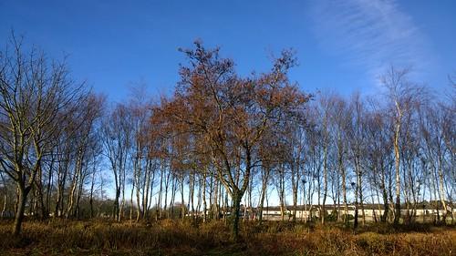 tree cameraphone lumia1020 sky morning light fresh urban galway ireland spring