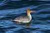 Mergus serrator ♀ (Red-breasted Merganser) - WA, USA by Nick Dean1