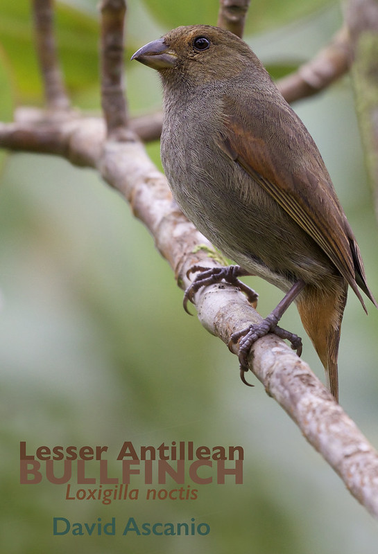 Lesser Antillean Bullfinch, Loxigilla noctis_Dominica_199A9892