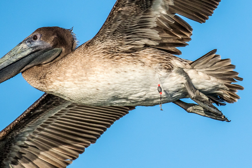 Brown Pelican Inflight With Belly Button Ring Navel Ring Flickr