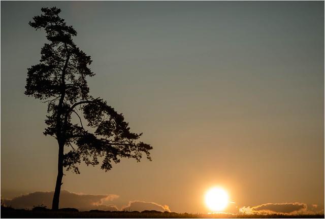 Eine Kiefer bewundert den Sonnenuntergang
