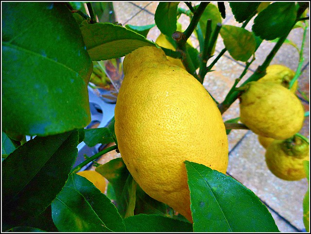Lemon Tree...( Close Up )