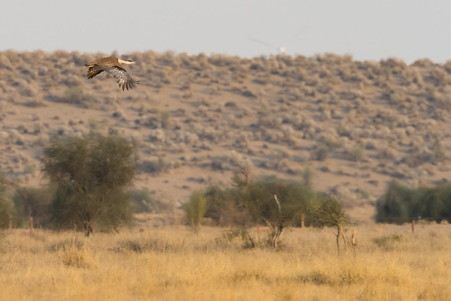 Great Indian Bustard | Ardeotis nigriceps | ग्रेट इंडियन बस्टर्ड | Critically Endangered