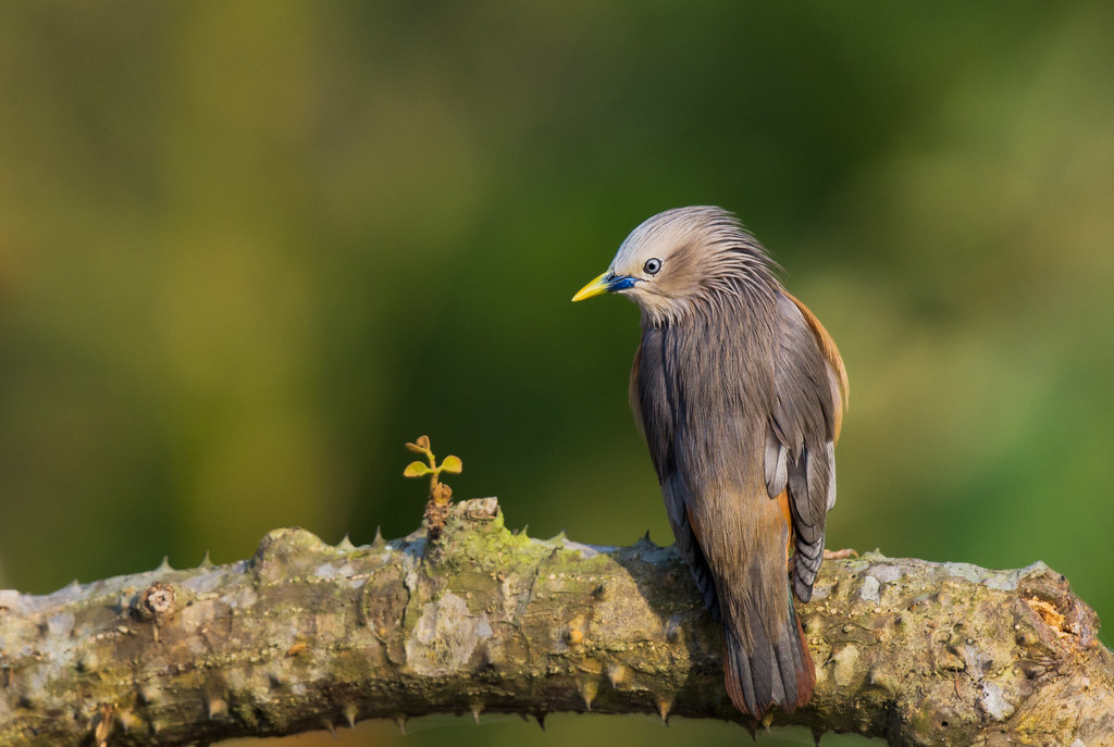 Chestnut-tailed Starling | local people call it Chestnut-tai… | Flickr