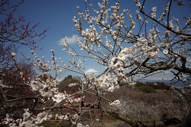 Mount Fuji,Ume Blossom