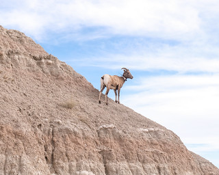 Bighorn Sheep, Badlands National Park 10/11/17 #badlandsnps #southdakota #wildlife | by Sharon Mollerus