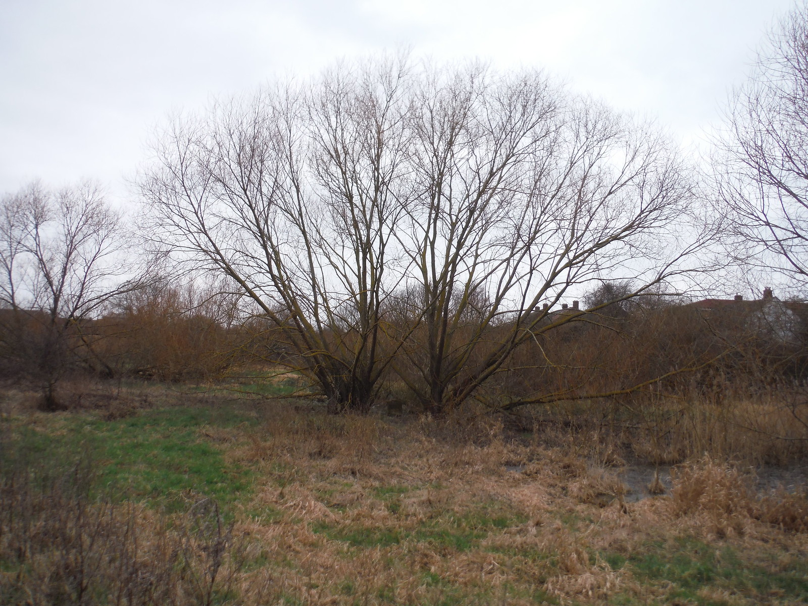 Old Wintry Tree, Beam Valley Country Park SWC Short Walk 33 - Dagenham Parks, Rivers and Ponds
