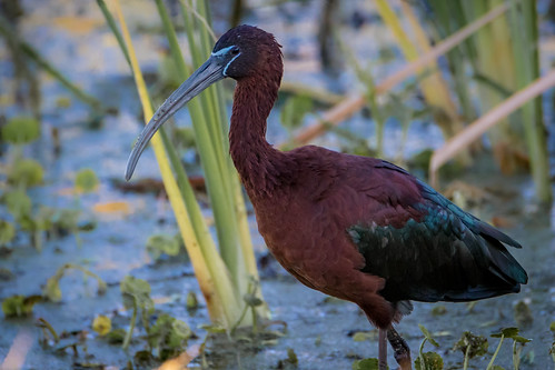 nature outdoor wildlife animal bird glossy ibis red rich grissom memorial wetlands viera florida fl breeding plummage