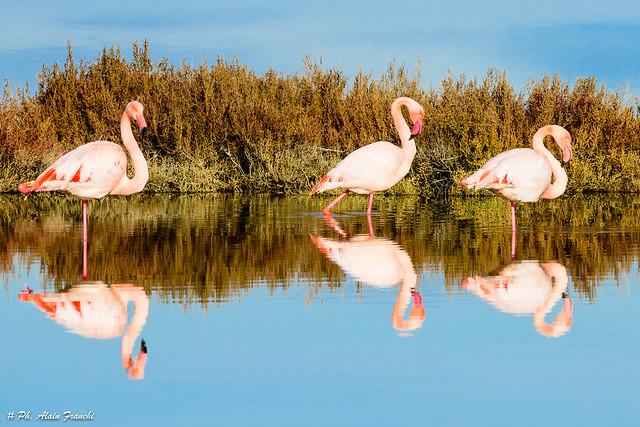 SERIE 2 - Le Flamant rose - Phoenicopterus roseus - Greater Flamingo