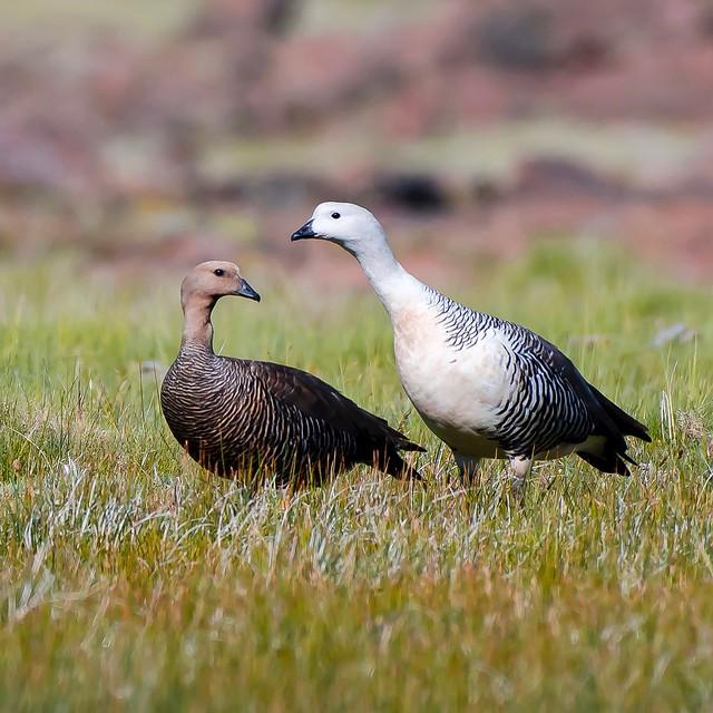 Cauquen Común - Patagonia Argentina
