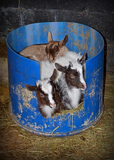 A bucket full of Goats...