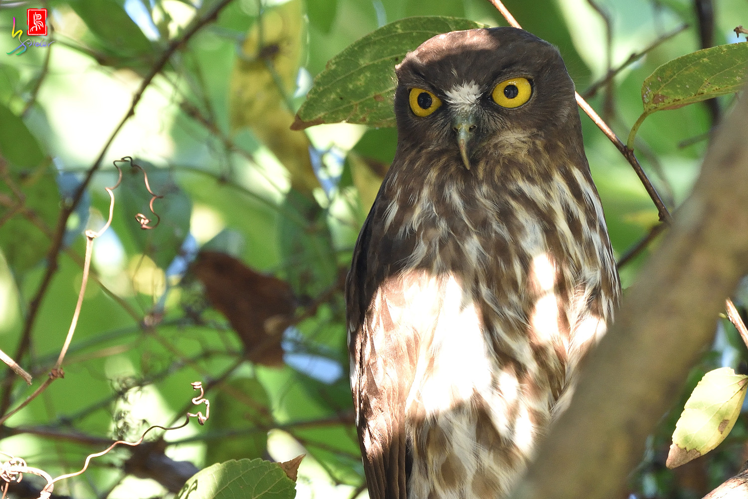 Brown_Hawk_Owl_1508