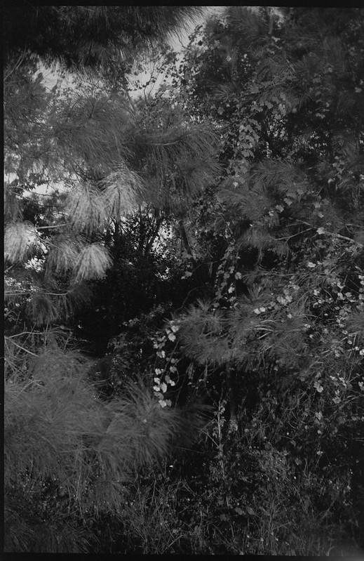 dense tropical vegetation, pine, palm, Jacksonville, Florida, Goerz Box Tengor, Arista.Edu 200, Ilford Ilfosol 3 developer, 11.30.18-2