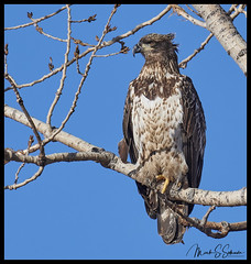Eagle at Loess Bluffs National Wildlife Refuge - No 4