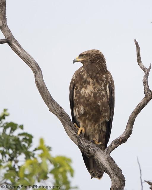 Tawny Eagle, Aquila rapax, Hwange National Park, Zimbabwe