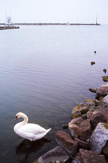 swan at autumn Balaton