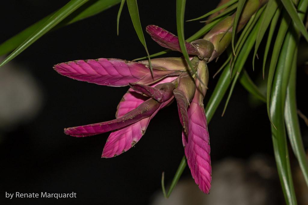 Blaue Tillandsie (Tillandsia cyanea)