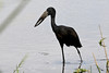 African Openbill (Anastomus lamelligerus) by Ardeola