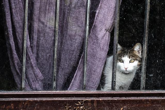 Le rideau mauve.