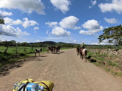 Sep/2014 - Cows grazing on the Nicaraguan hillsides (photo credit/ Dirk Hauke Landmann).
