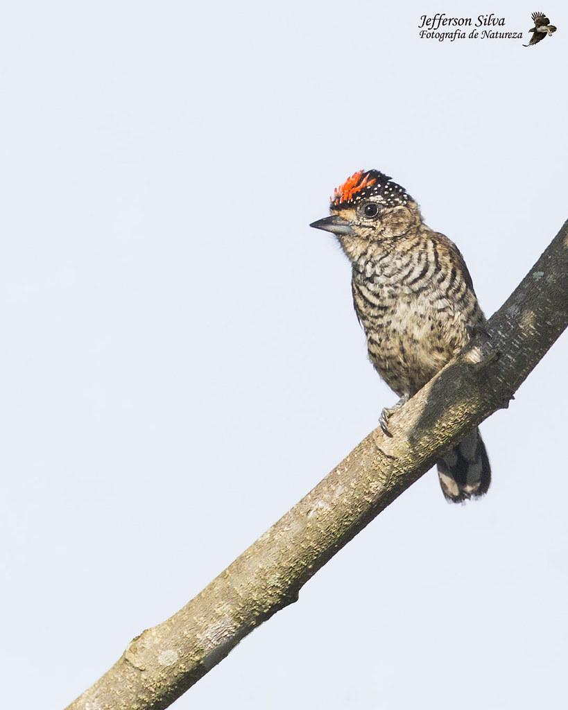 pica-pau-anão-barrado - White-barred Piculet / Picumnus cirratus - Campinas - 23-11-18