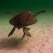 Flickr photo 'Green Sea Turtle Glider' by: Phil's 1stPix.