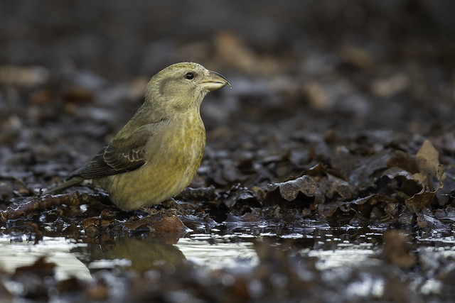 Mrs Crossbill
