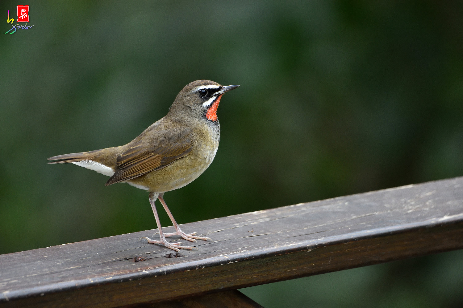 Rubythroat_6168