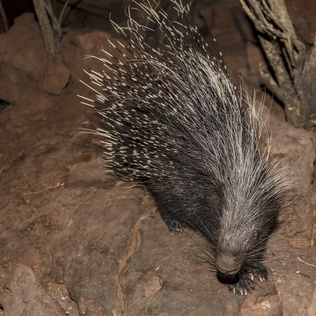 Namibian Porcupine