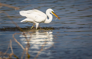 Little egret with catch