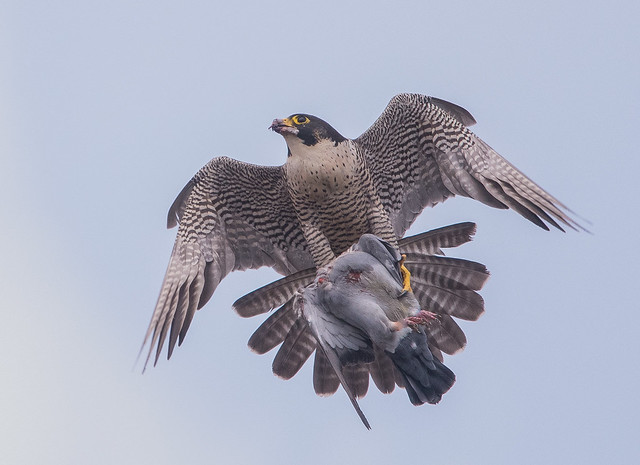 Peregrine female with prey. Belper, Derbyshire. DSC_5061.jpg