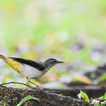 Gray Wagtail (灰鶺鴒)