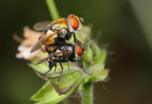 insect diptera tachinidae phasiinae gymnoclytia northcarolina piedmont fieldtrip bioblitz20100515 canonefs60mmf28macrousm fridayflyday inaturalist gymnoclytiaoccidua