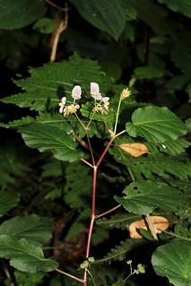 Begonia fischeri ? (Begoniaceae)