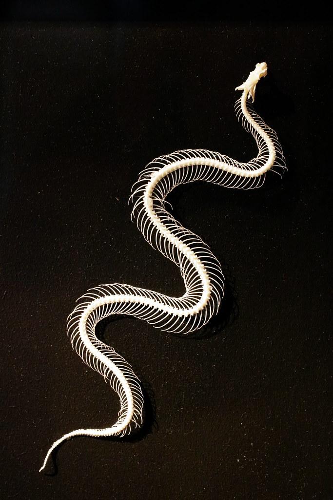 snake skeleton | I've taken this photo last weekend in the N… | Flickr