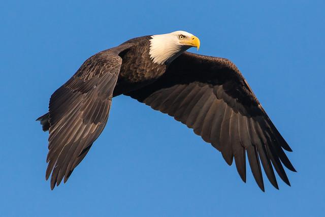 Bald Eagle at Conowingo Dam-83