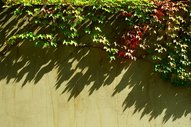 Vine in Sunshine