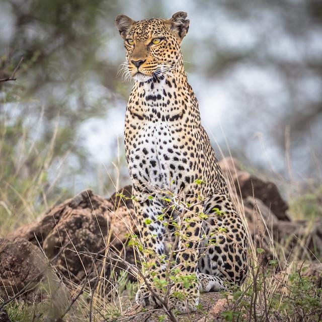 léopard-6315