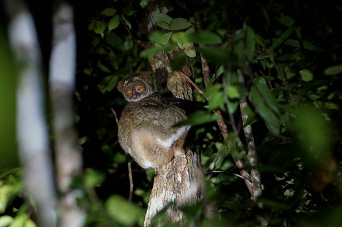 Nocturnal Lemur | by TAZMPictures