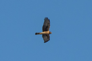 Northern Harrier?