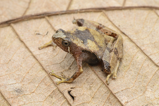 Larut Hills Rice Frog - Microhyla annectens