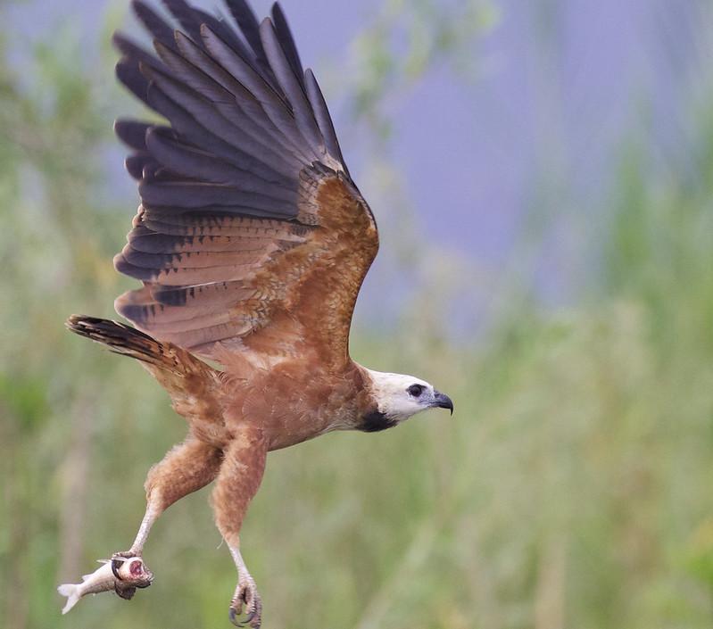 Black-collared Hawk, Busarellus nigricollis Ascanio_Peruvian Amazon 199A5955