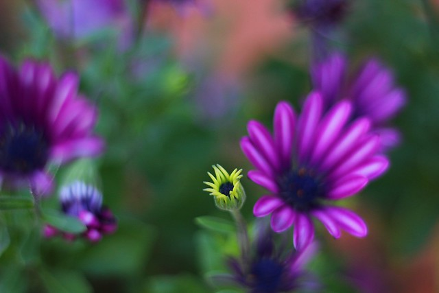 Las violetas II