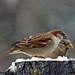 Sparrow's on the stump by angelbrd59@yahoo.com