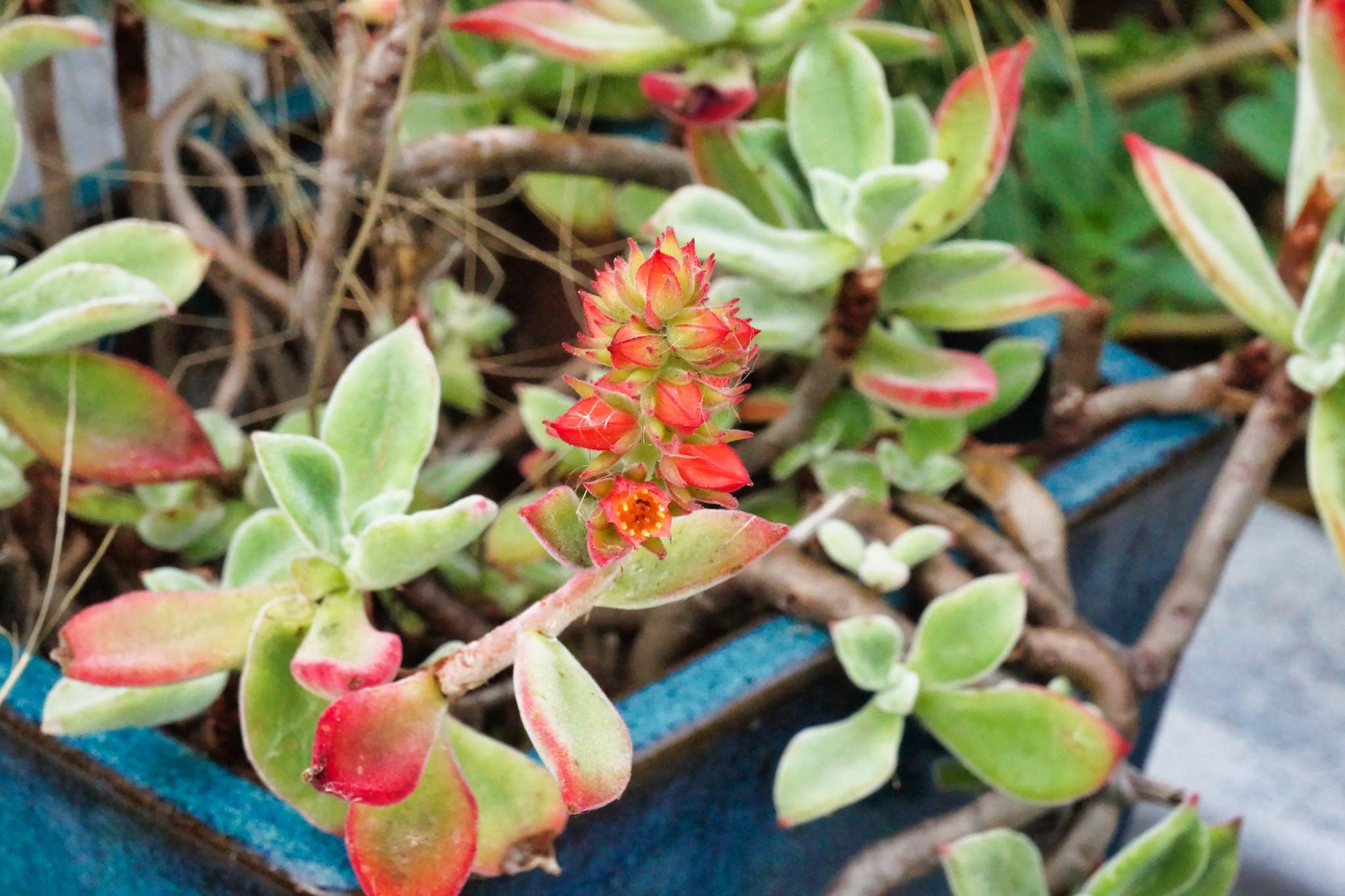 2019-02-01 - Nature Photography - Succulent - ??????