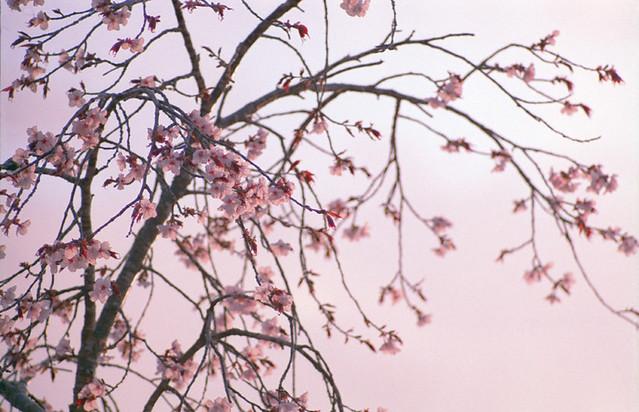 2016年の桜。(2のうち1)