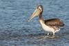 Pelicano by ik_kil